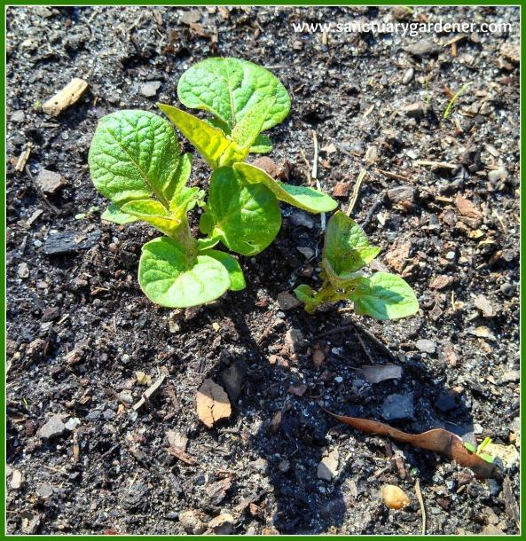 Fingerling potato sprout