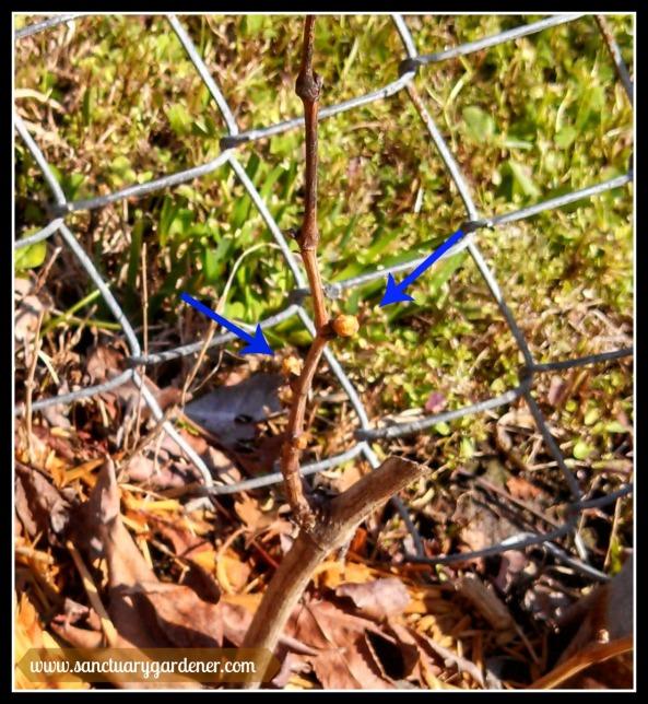 Leaf buds on Marquis grape vine