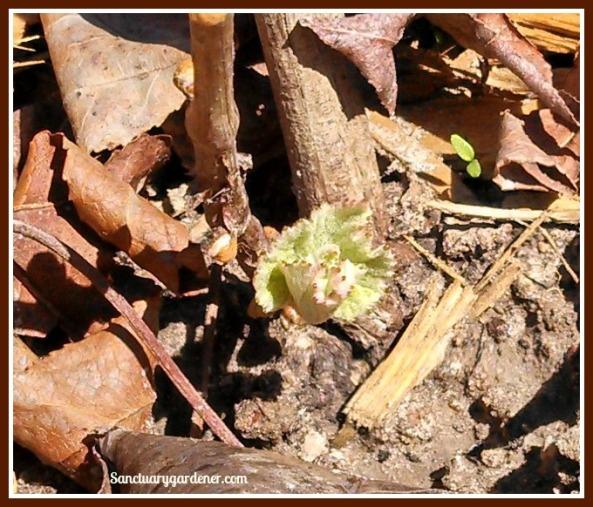Grape leaf on Marquis vine