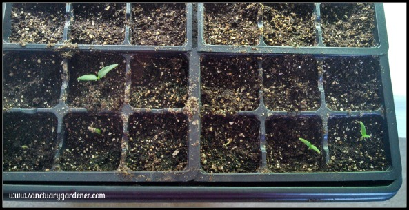 Emerald Giant bell pepper seedlings ~ 13 days post planting