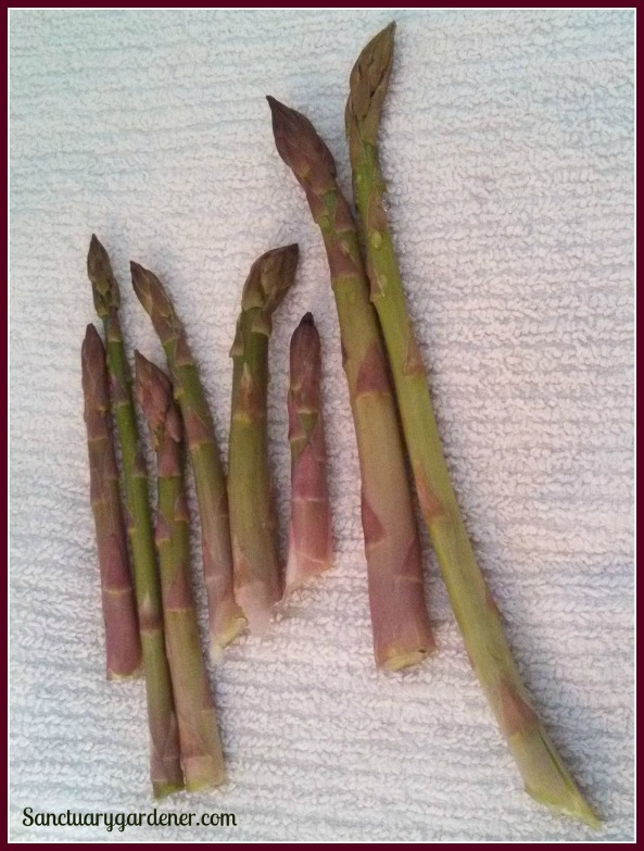 Mary Washington asparagus harvest