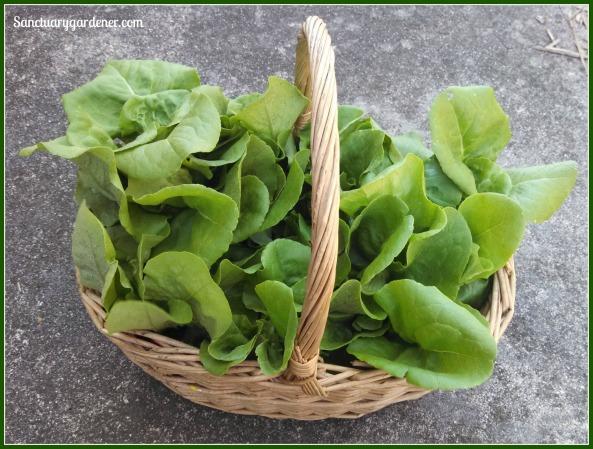 Harvest - buttercrunch lettuce 30Mar14 SG