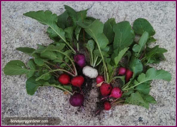 Easter Egg radish harvest