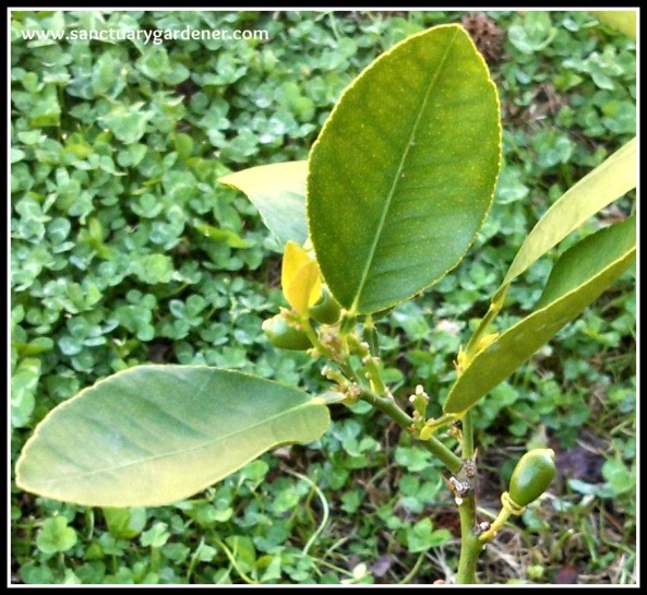 Key lime tree with new leaves and limes