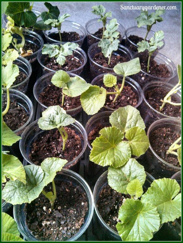 Melon seedlings