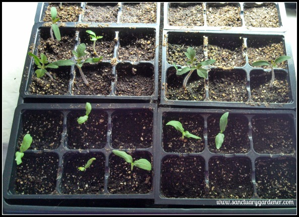 Pear tomato (top) & Listada de Gandia eggplant (bottom) seedlings ~ 13 days post planting