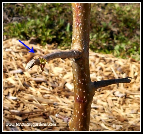 First leaves on Pink Lady apple tree