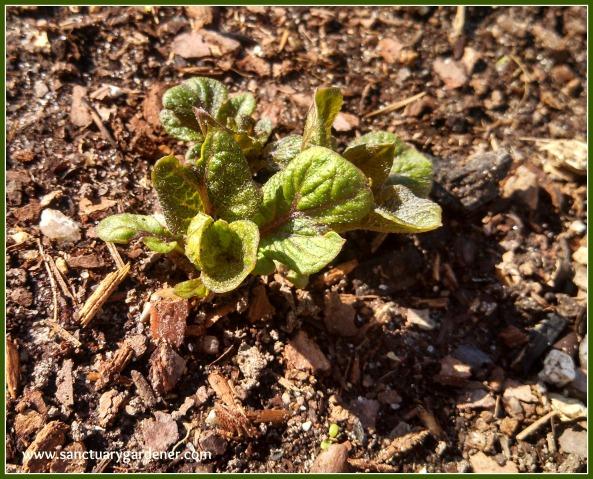 Purple potato sprout