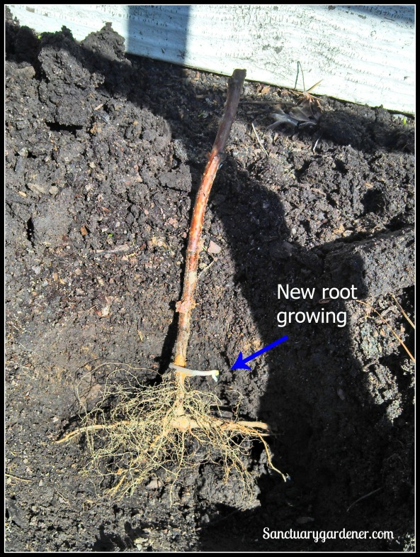 Raspberry cane being planted