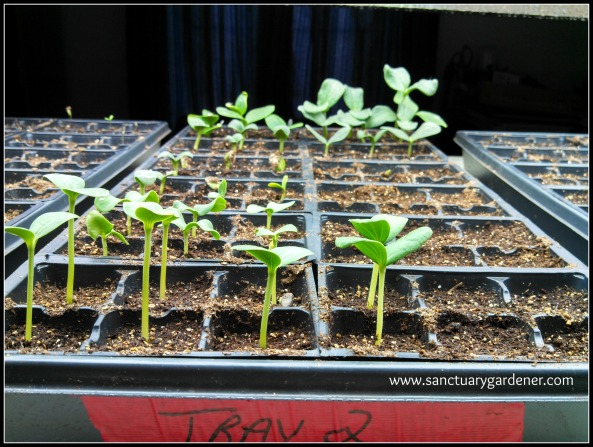 Squash & Melon seedlings ~ 6 days post planting