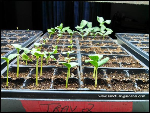 Squash & Melon seedlings ~ 6 days post planting
