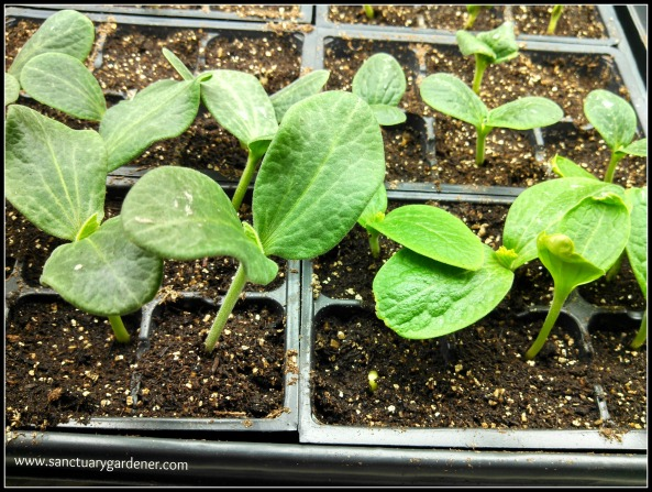Secondary leaves coming on zucchini seedlings ~ 7 days post planting