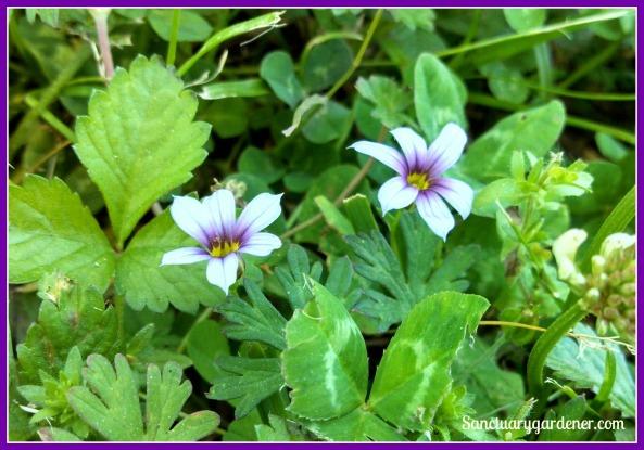 Blue-eyed grass flowers