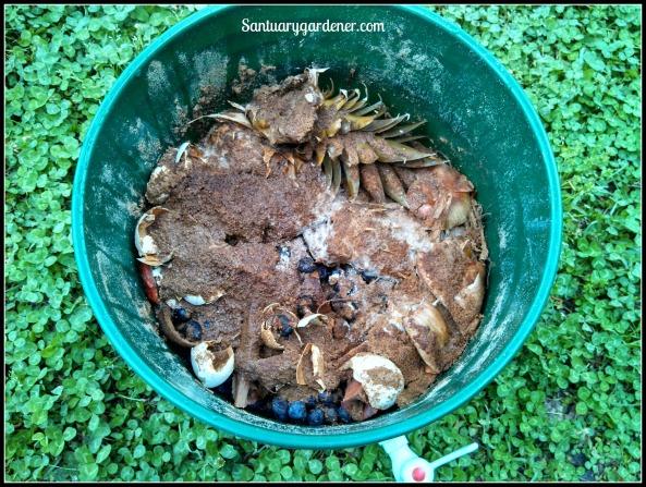 Fermented table scraps in Bokashi bucket