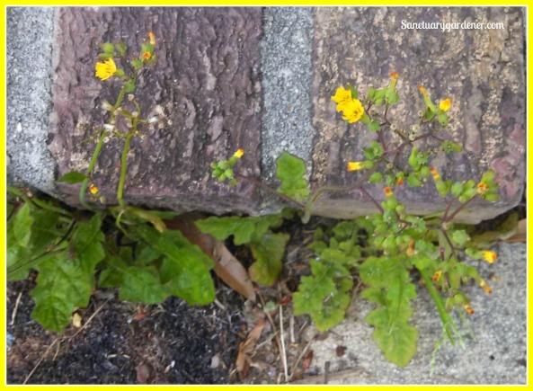 Catsear or False Dandelion