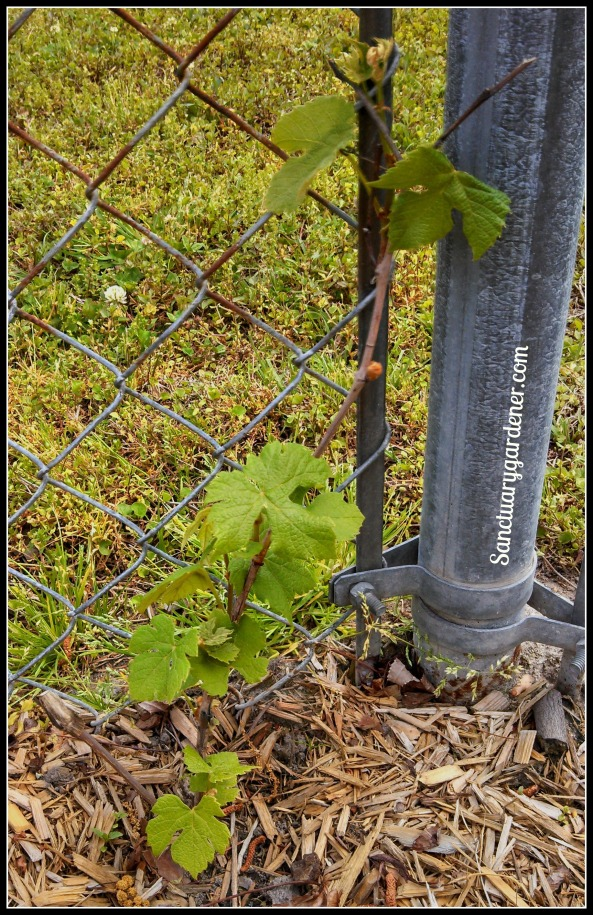 Concord grape vine