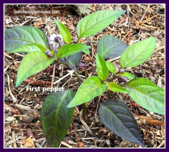 First filius blue pepper