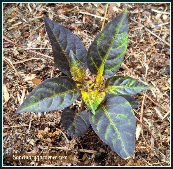 Filius blue pepper leaves