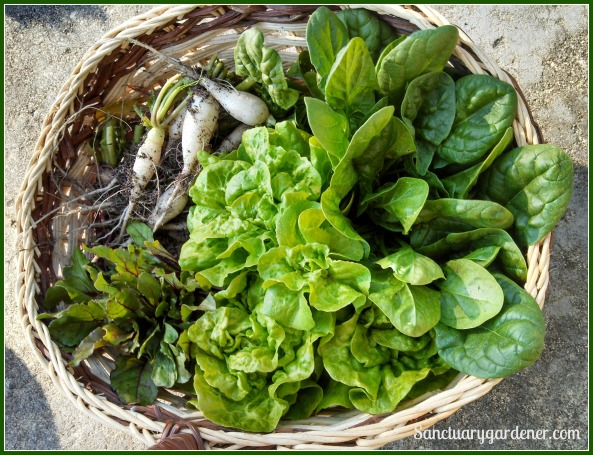 Harvest of beet greens, buttercrunch lettuce, spinach, & icicle radishes ~ April 1