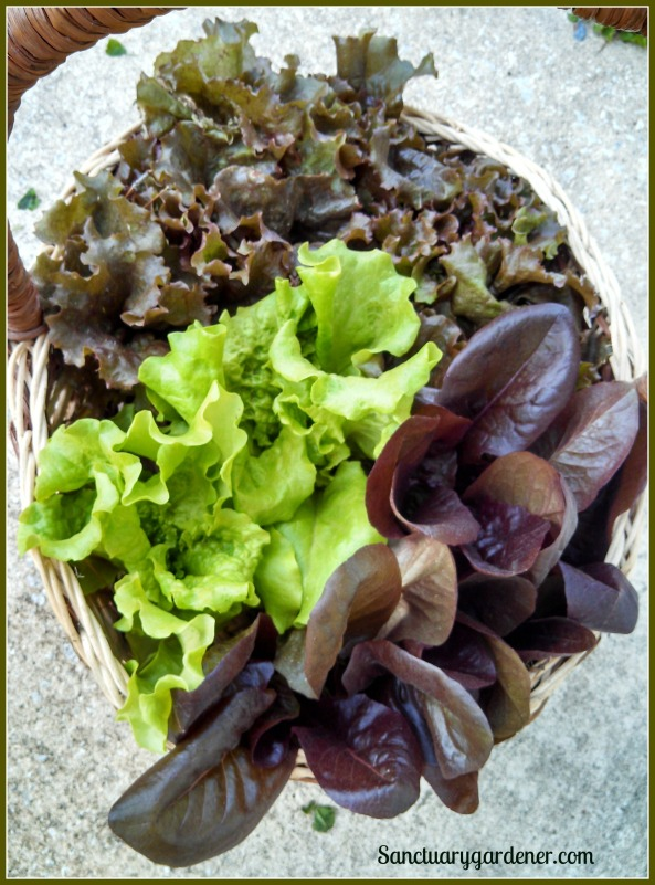 Harvest of Red Sails, Black Seeded Simpson, and Red Romaine lettuces ~ April 4