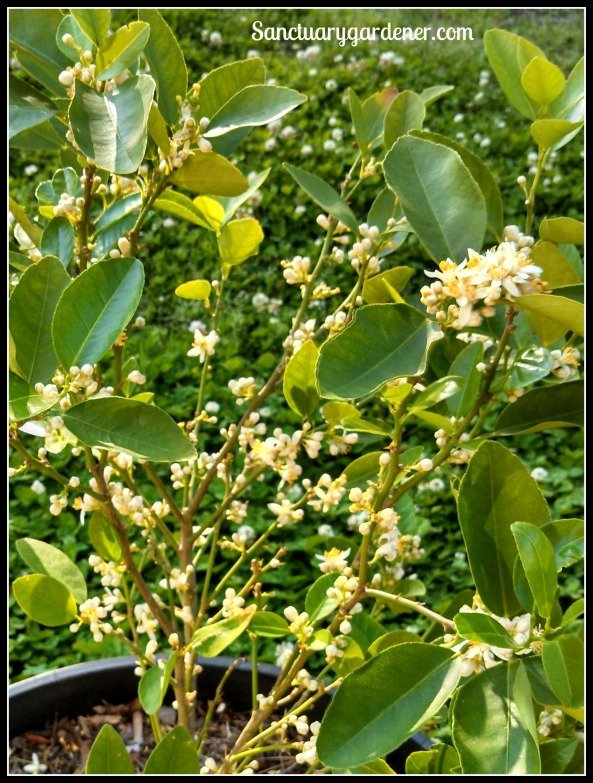 Key lime tree covered with flowers