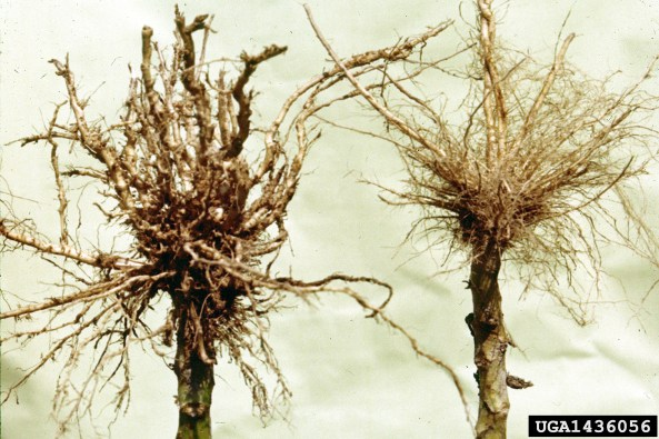 Nematode damage Photo Credit: Clemson University -  USDA Cooperative Extension Slide Series, bugwood.org