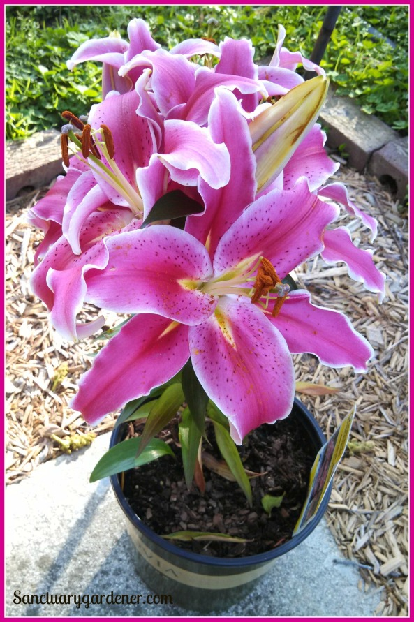 My new lilies