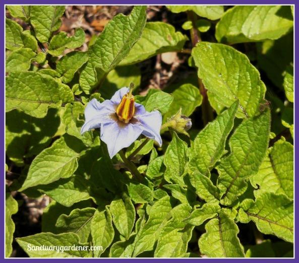 Purple potato flower