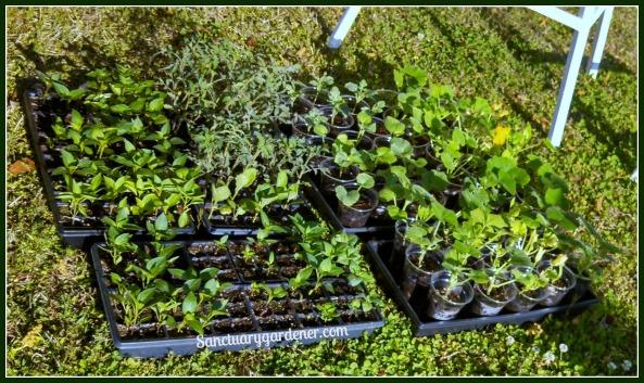 Seedlings in the sun, hardening off