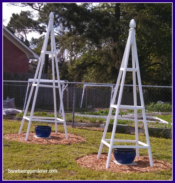 Teepee trellises set up in the front yard