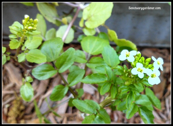 Watercress flower