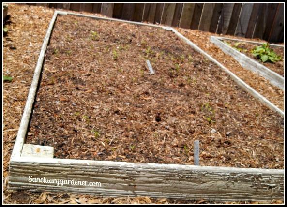 Bed 11 in May ~ Carrot seedlings