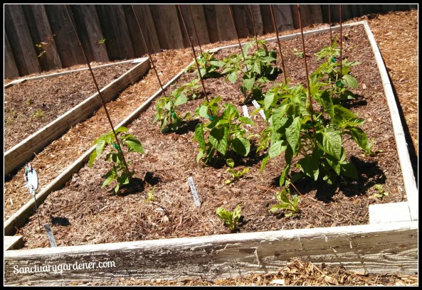 Bed 12 in May ~ Peruvian peppers & Rainbow chard