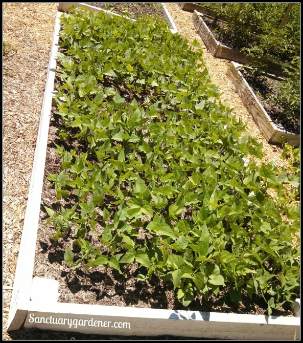 Bed 17 in May ~ Lima Beans & Nasturtiums