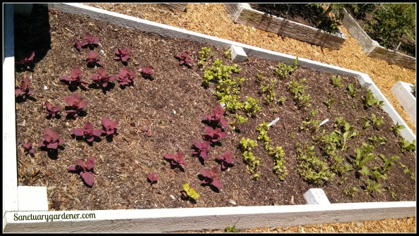 Bed 18 in May ~ Magenta Orach, Purslane, & Perpetual Spinach