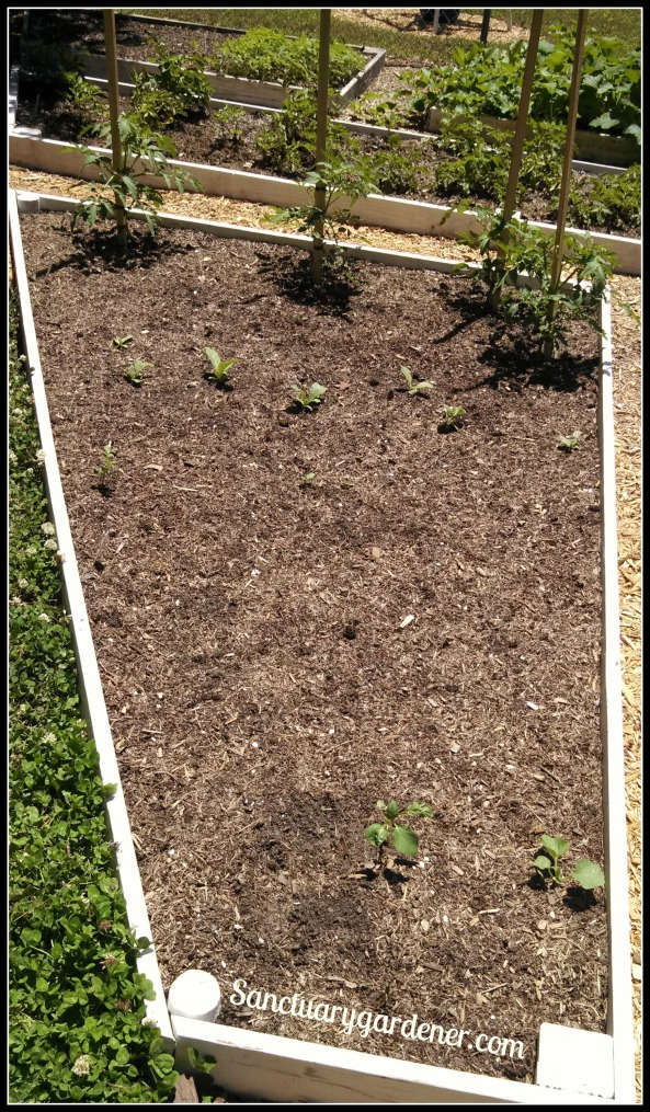 Bed 20 in May ~ Black Krim Tomatoes & Herbs