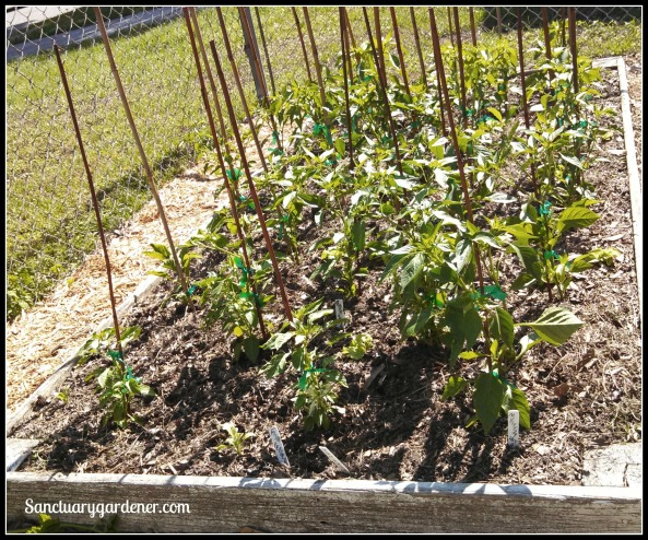 Bed 3 in May ~ Chili peppers