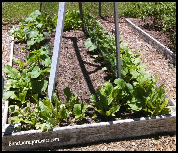 Bed 5 in May ~ Cucumbers & Radishes