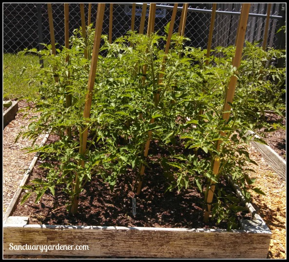 Bed 6 in May ~ Paste tomatoes
