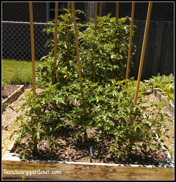 Bed 7 in May ~ Slicing & Cherry tomatoes