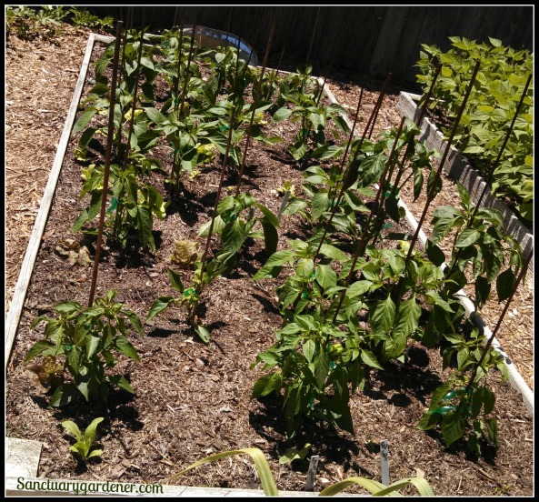Bed 9 in May ~ Sweet peppers
