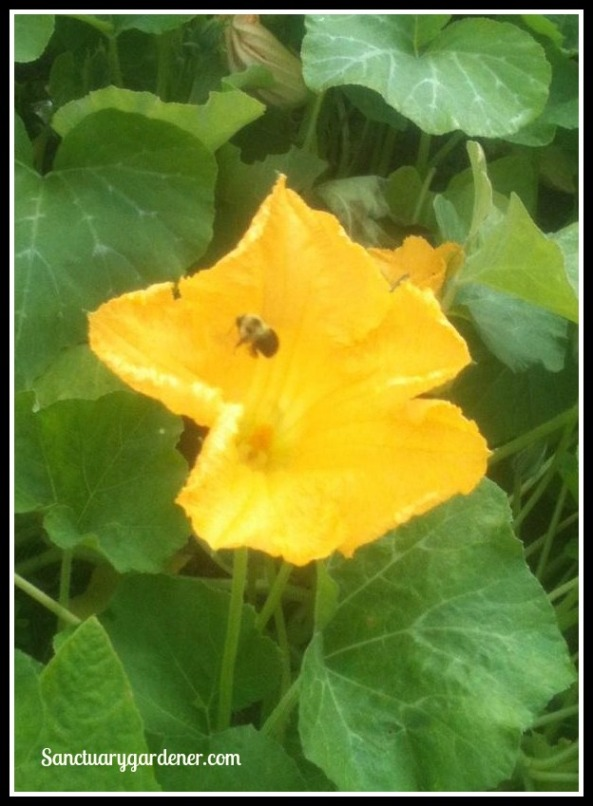 Bee on squash flower