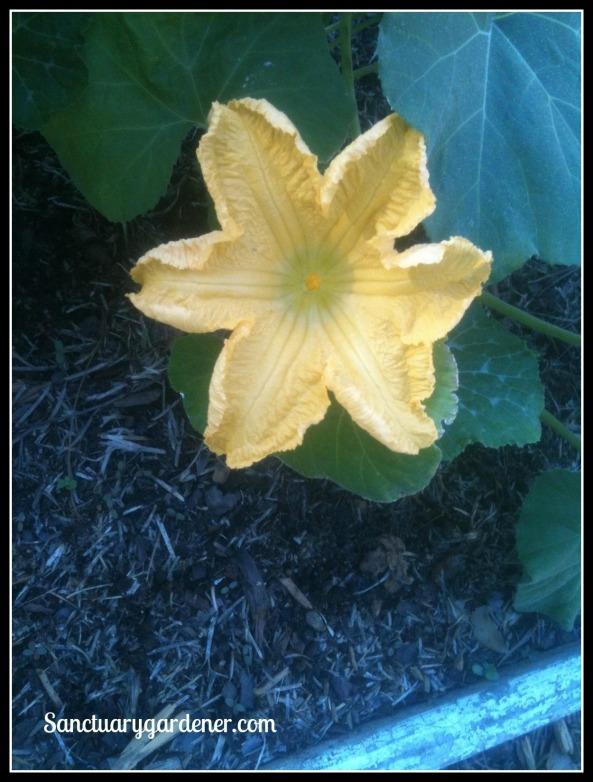 Black Futsu squash flower