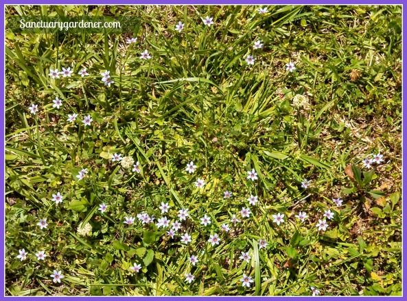 Blue-eyed grass flower patch