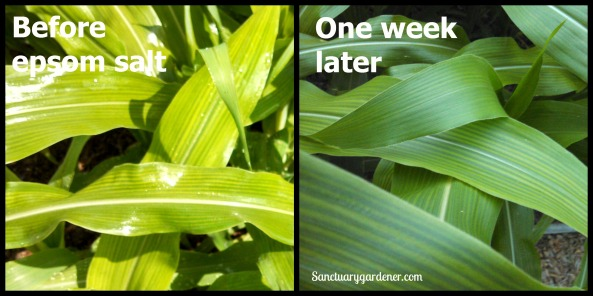Corn leaves with magnesium deficiency