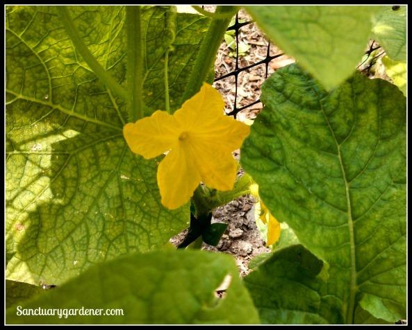 Boston Pickling cucumber male flower
