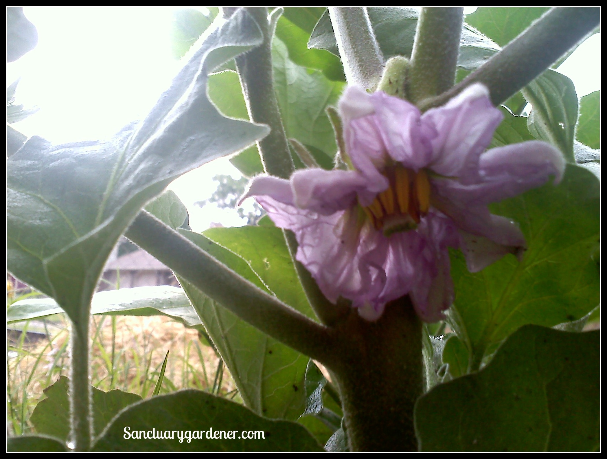 Flowers in the garden nightshades sanctuary gardener black beauty eggplant flower izmirmasajfo