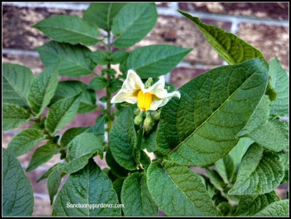 Fingerling potato flower