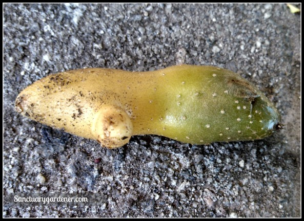 Fingerling potato exposed to the sun