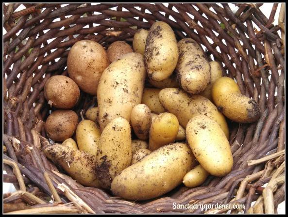 Fingerling potato harvest ~ May 25